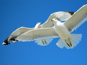 Two Seagulls Fly